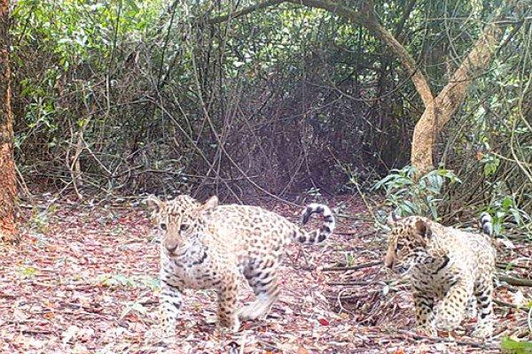 Reintroducen a tres yaguaretés a su hábitat natural del Parque Nacional Iberá